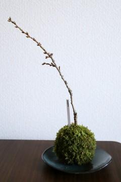 苔玉と桜の盆栽