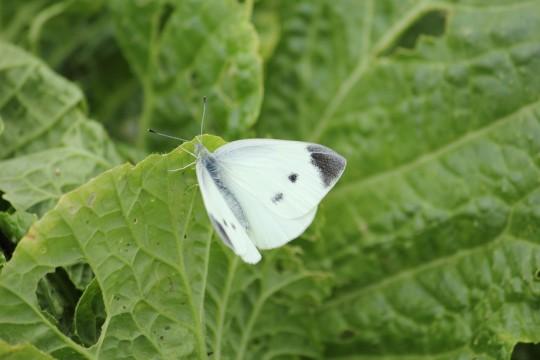 葉にとまる蝶
