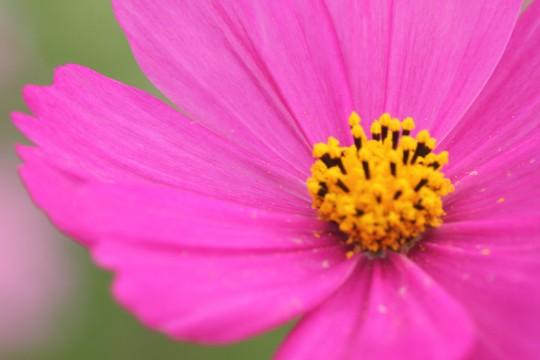 紫色のコスモス2
