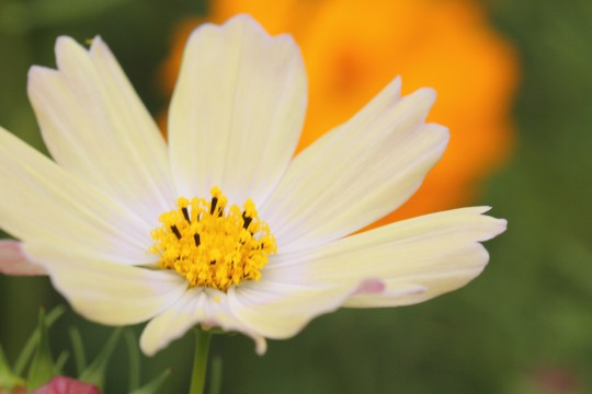 淡い黄色のコスモス2