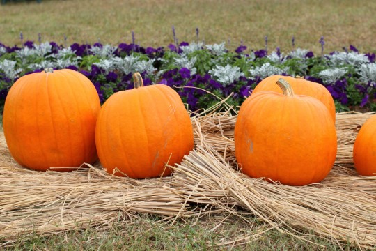 ハロウィンの大きなかぼちゃ5