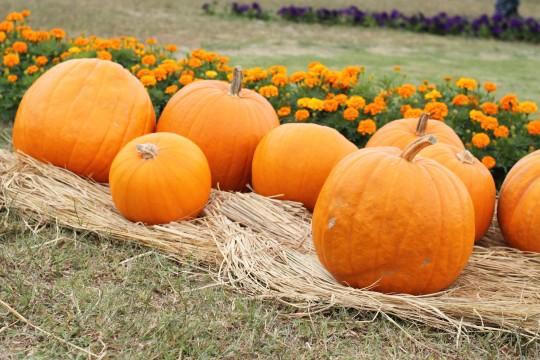 ハロウィンの大きなかぼちゃ2