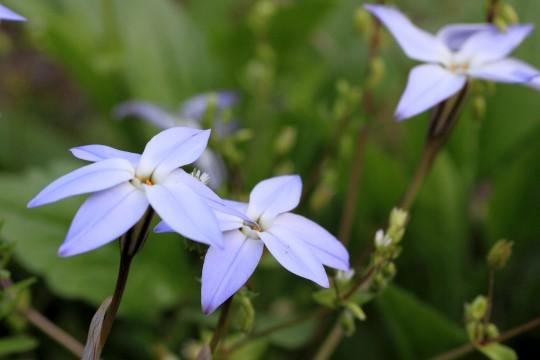 ハナニラの花