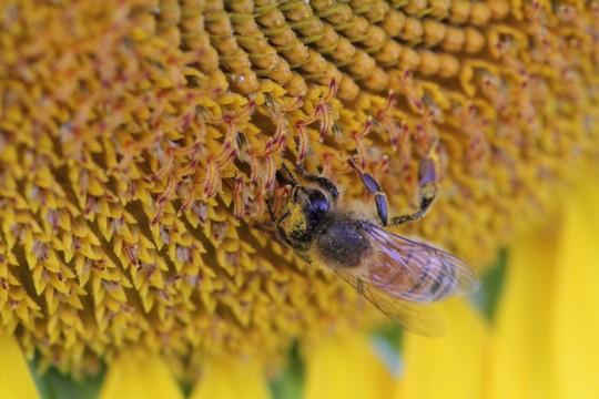 ヒマワリにとまる蜂