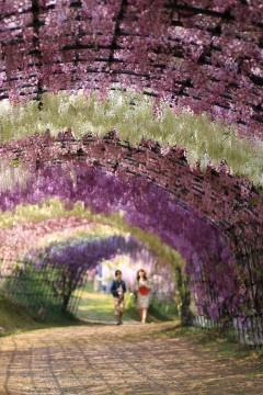 若い男女と藤のトンネル