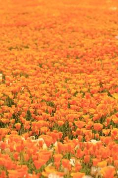 ポピーの花畑5