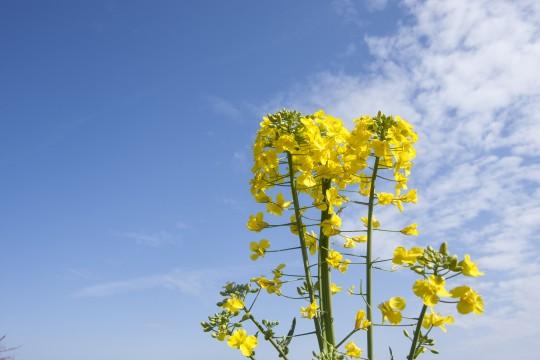 青空と菜の花