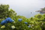 海沿いのアジサイ