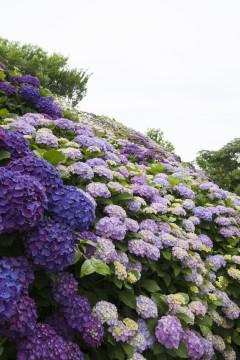 一面に咲く紫陽花