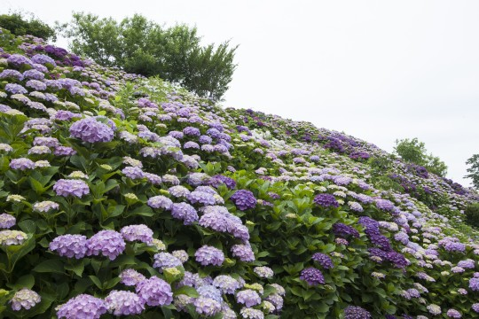 一面に咲く紫陽花2
