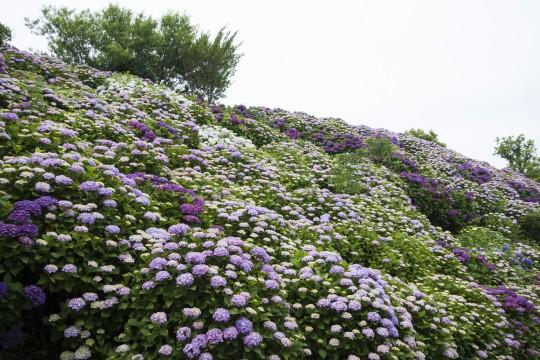 一面に咲く紫陽花3