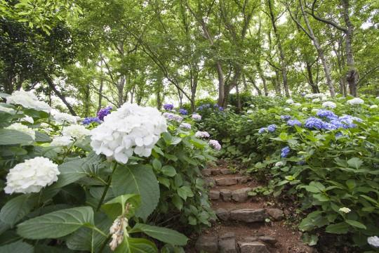 階段と白い紫陽花