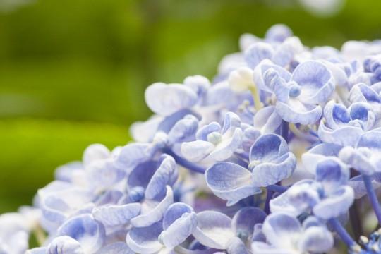 丸い花びらのアジサイ