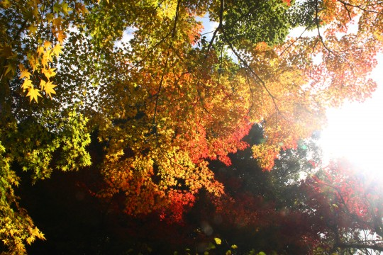 紅葉のグラデーションと太陽