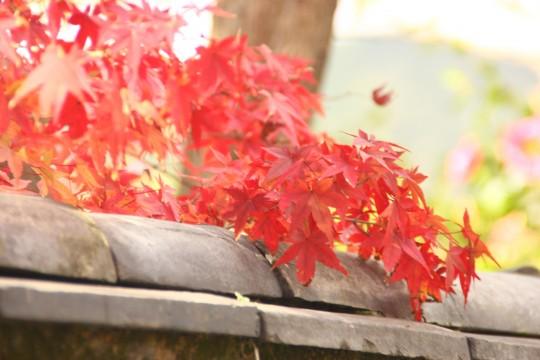 塀の上の紅葉の葉
