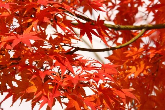 竈門神社の紅葉の枝2