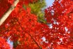 竈門神社の紅葉の枝4