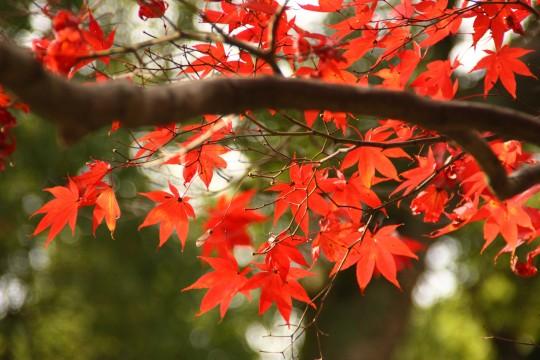 竈門神社の紅葉の枝5