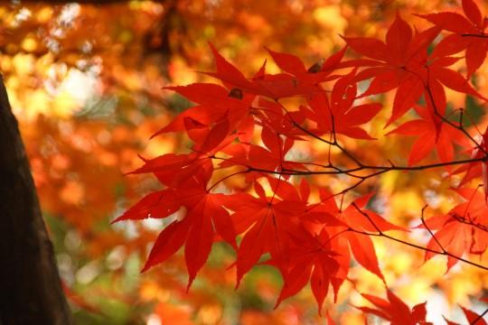竈門神社の紅葉の枝6