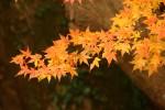 オレンジの紅葉の枝