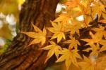 黄色いもみじの葉
