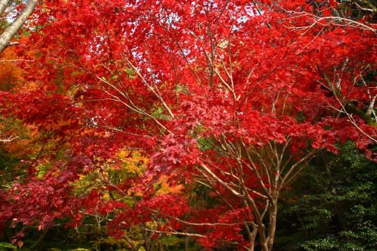 真っ赤なもみじの木