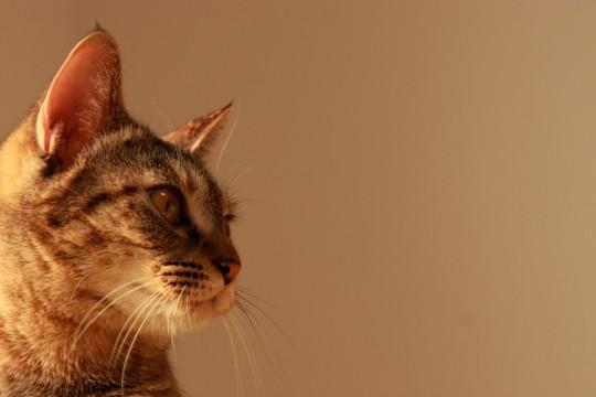 部屋の隅を見つめるネコの横顔