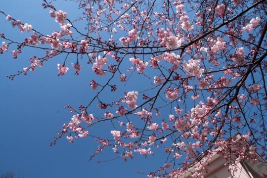 桜の枝001