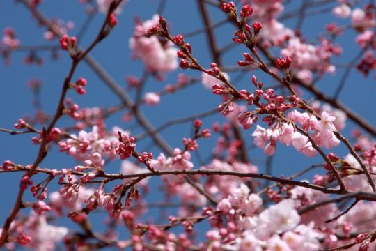 桜の枝004