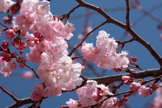 桜の枝005