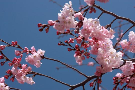 桜の枝006