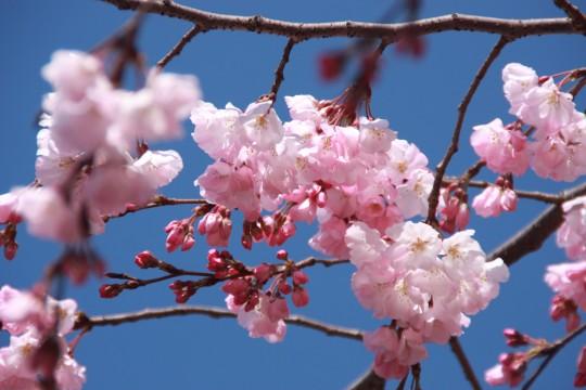 桜の枝007
