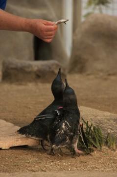 餌をもらうコガタペンギン