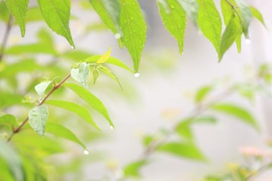 雨に打たれる葉