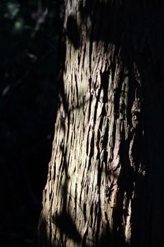 光のあたった樹皮