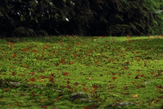 苔の上に落ちた紅葉