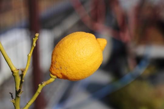 枝に生ったレモン