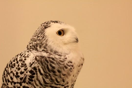 シロフクロウの横顔