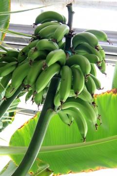まだ青いバナナ
