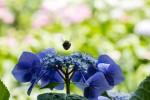 蜜を集めるクマバチ