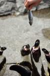 p55_penguin3