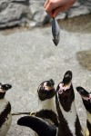 餌をもらうペンギン
