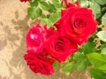 s_redrose