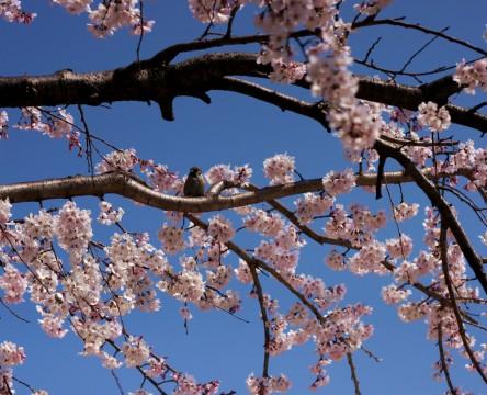 春うららかな日のすずめの子