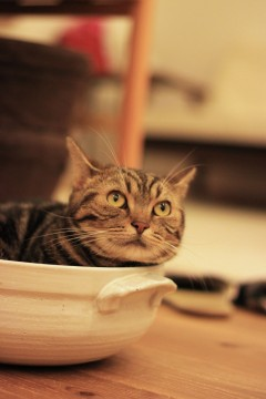 土鍋のなかの猫