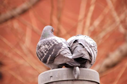 身を寄せ合う二羽のハト