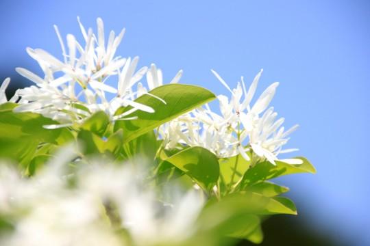 青い空とナンジャモンジャの花