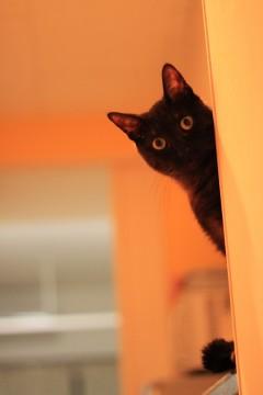 のぞきこむ黒猫