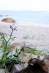 海辺に佇む小さな花