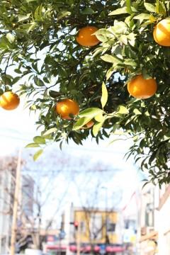 たわわに実るオレンジ
